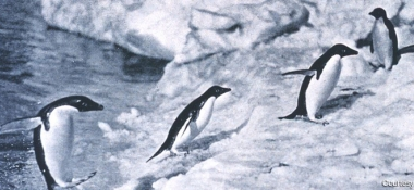 Penguins in Antarctica/Courtesy of NOAA