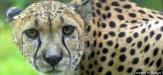 Cheetahs: A Numbers Game