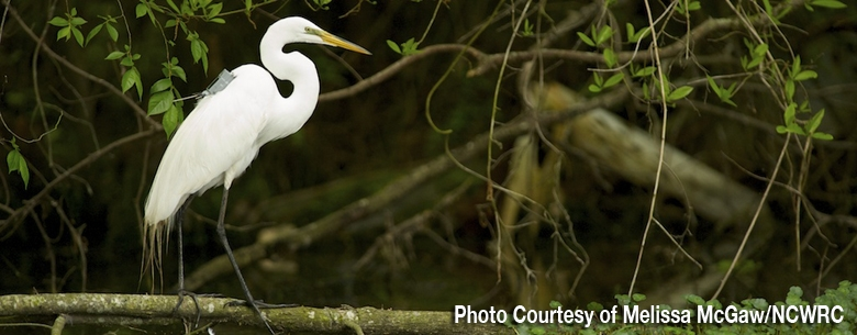 The Great Egret Rebound | UNC-TV: Science