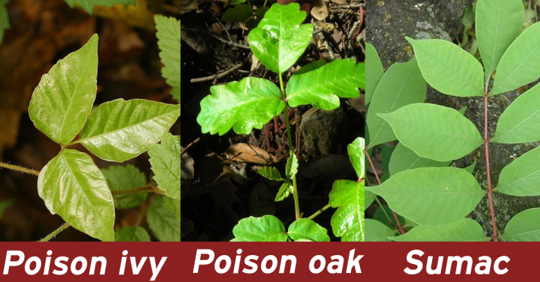 Poison Ivy And Its Pals Some Common Myths Unc Tv Science