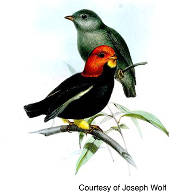 Female and Male Manakins