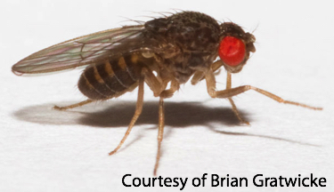 Drosophila hydei
