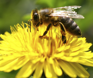 importance of honey bees in agriculture