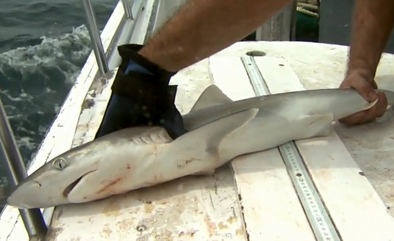 UNC IMS shark tagging research