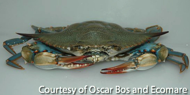 Female Blue Crab with Orange Claws