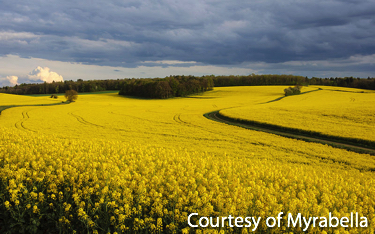 Rapeseed Plants in a Sunny Field
