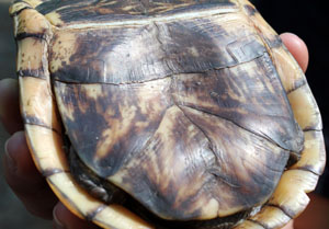 Plastron of a Male Eastern Box Turtle